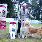 Goldel Retriever Punta Serenin nano-lalin-parejas