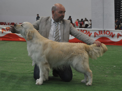Golden Retriever Punta Serenin Ringo