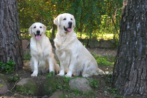 Golden Retrievers Punta Serenin