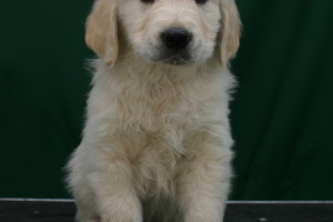 Cachorro Golden Retriever Punta Serenin