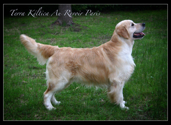 golden retriever Terra Keltica au revouir Paris