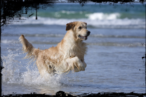 golden retriever punta serenin 1