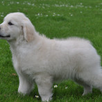 Cachorro Golden Retriever Punta Serenin Ringo