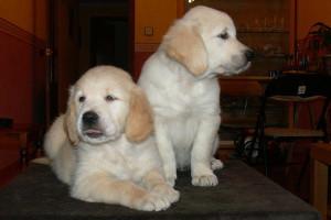 Cachorros Golden Retriever Punta Serenin