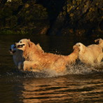 Golden Retriever Punta Serenin