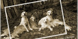 Abelly Golden Retriever