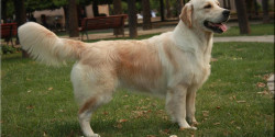 Asun Herce British Golden Retriever