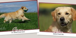Clotted Cream Golden Retriever Zucht