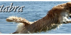 Costa artabra Golden Retriever