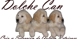Dolce Chan Golden Retriever