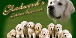 Glad Words Golden Retriever