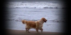 Lenda Moura Golden Retriever