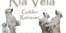 Ria Vela Golden Retriever