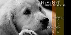 Thevenet Golden Retriever