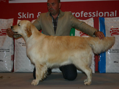 Golden Retriever Punta Serenin Penelope Madrid 2011